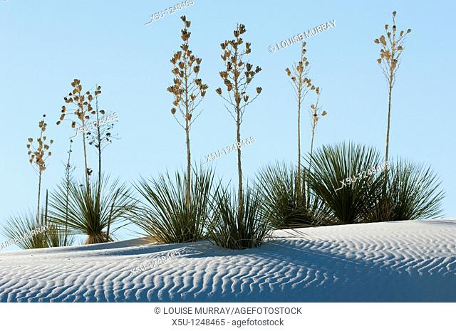 White Sands National Monument, near Alamagordo, New Mexico, United States consist of white gypsum or selenite sand dunes and forms part of the 270 square mile...