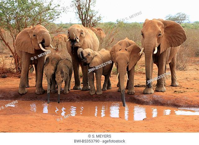 African elephant (Loxodonta africana), herd of elephants at waterhole, Kenya, Tsavo East National Park