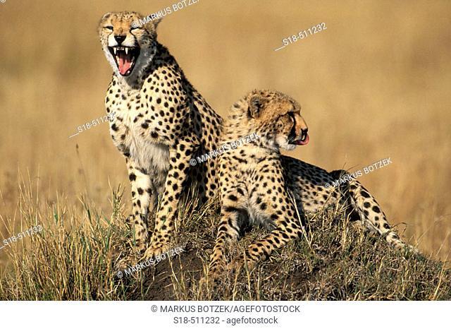 Two Cheetahs (Acinonyx jubatus ) on an old termite hill, one is yawning. Masai Mara, Kenya