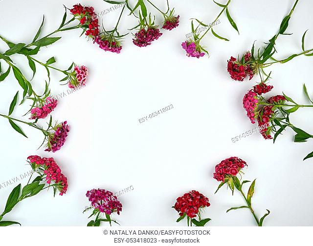 red buds blooming Turkish carnations Dianthus barbatus on a white background, flat lay, copy space
