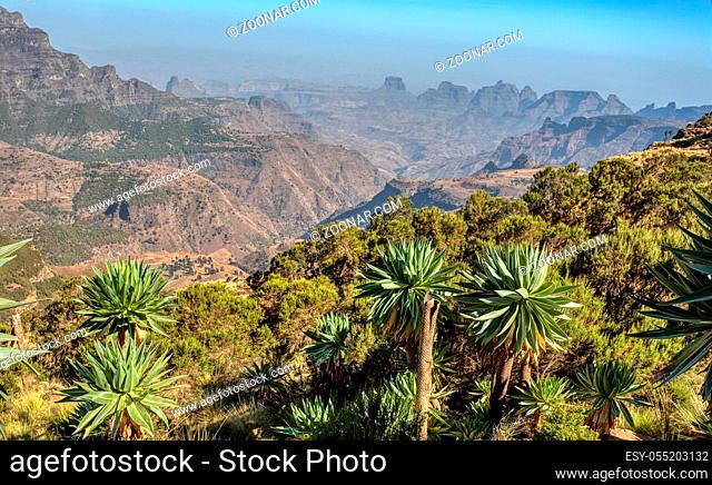 Beautiful Semien or Simien Mountains National Park landscape. In front beautiful flowering flower giant lobelia, Lobelia rhynchopetalum