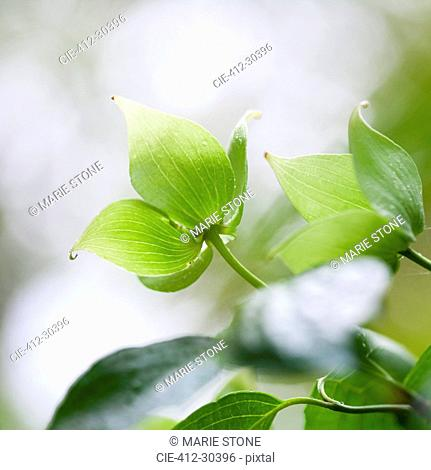 Close up of fresh green leaves on dogwood tree