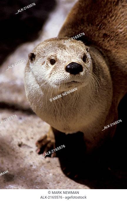 River Otter Portrait Captive Tucson Zoo Az Asian Small Claw