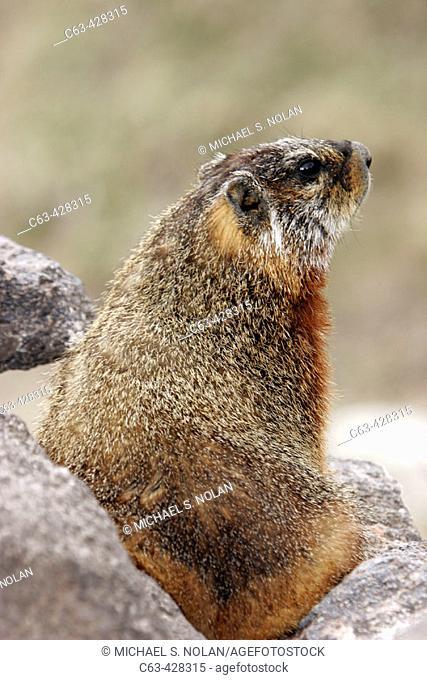 Adult Marmot (Marmota flaviventris) on rocks near Jackson Hole, Wyoming