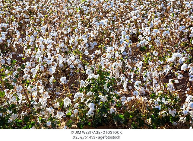Eloy, Arizona - An irrigated cotton crop growing on a farm in the Sonoran Desert