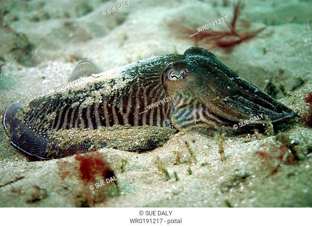 Cuttlefish Sepia officinalis, Jersey, British Isles