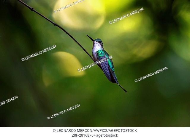 Female Violet-capped Woodnymph (Thalurania glaucopis) hummingbird photographed in Santa Teresa, Espírito Santo - Southeast of Brazil