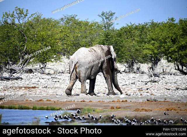 African elephant (Loxodonta africana) leaves a water hole in Etosha National Park, taken on 05.03.2019. With more than 22, 000 square kilometers