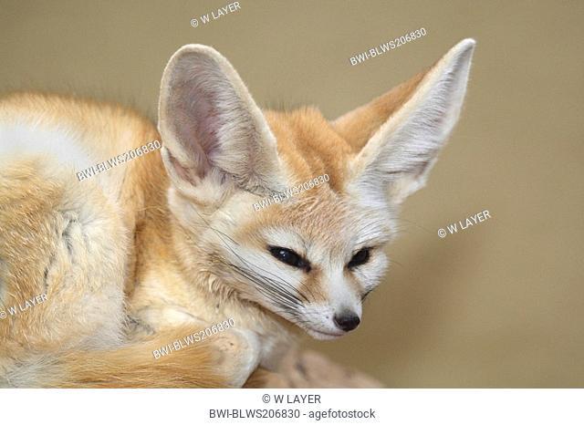 fennec fox Fennecus zerda, Vulpes zerda, portrait