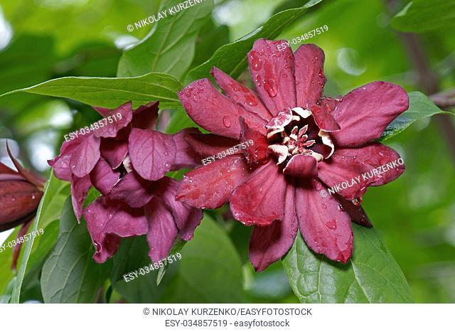 Eastern sweetshrub (Calycanthus floridus). Called Carolina spicebush also