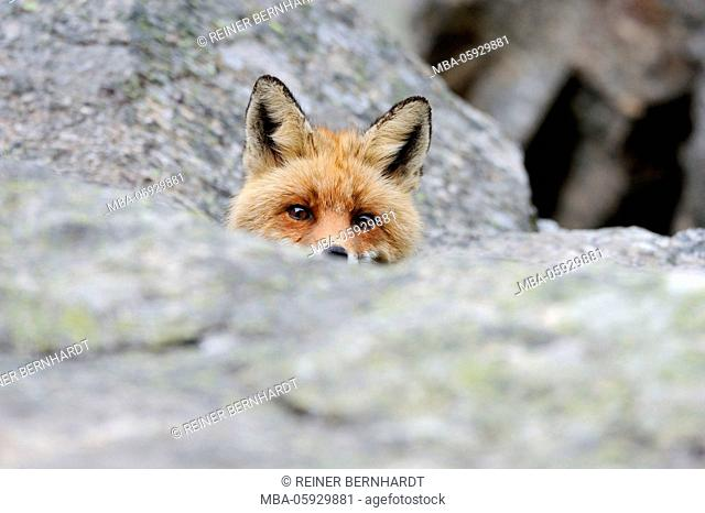 Rocks, red fox, Vulpes vulpes, portrait, detail