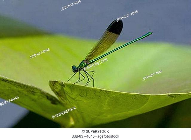 Close-up of a River Jewelwing Calopteryx aequabilis on a leaf