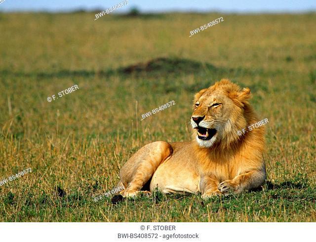 lion (Panthera leo), male lying in savannah, Kenya, Masai Mara National Park