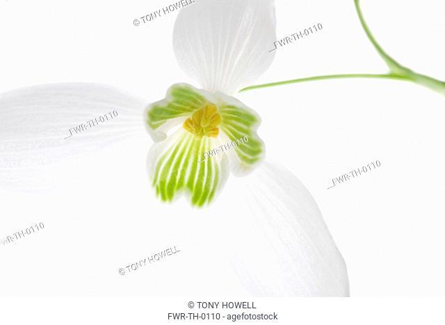 Galanthus - variety not identified, Snowdrop
