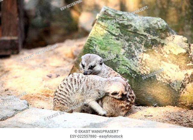 Meerkat in a Dusit Zoo,Bangkok Thailand