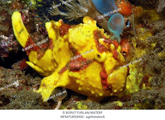 Yellow Warty Frogfish, Antennarius maculatus, Lembeh Strait, North Sulawesi, Indonesia