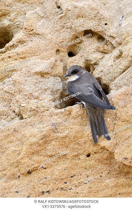 Sand Martin / Bank Swallow / Uferschwalbe ( Riparia riparia) resting at the entrance of its nest hole in a sand cliff of a river bank, watching, wildlife