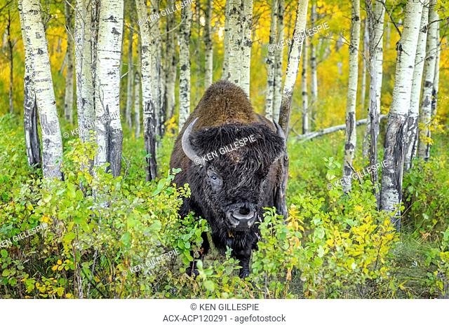Plains Bison, Bull, in autumn, Riding Mountain National Park, Manitoba, Canada