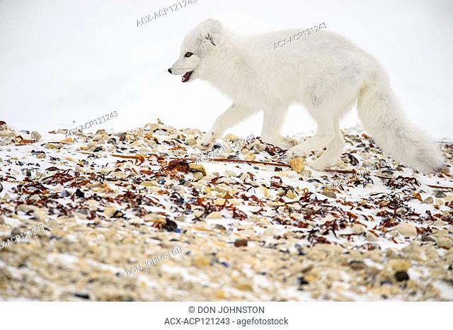 Arctic fox (Vulpes lagopus) Hunting along Hudson Bay gravel beach