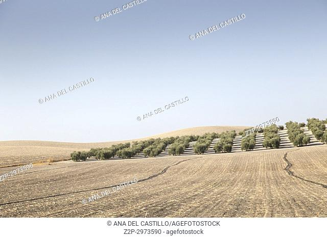 Country landscape with olive trees in Seville province, Andalusia, Spain
