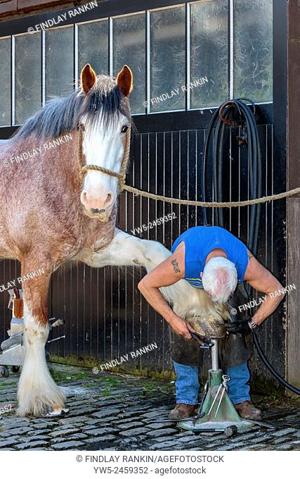 Farrier fitting a horse shoe onto the front hoof of a Clydesdale Horse, Pollok Park, Glasgow, Scotland, UK