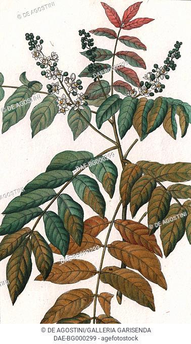 White butterwood (Trichilia spondioides), colour copper engraving, retouched in watercolour, 9x15 cm, from Dizionario delle scienze naturali compilato da vari...