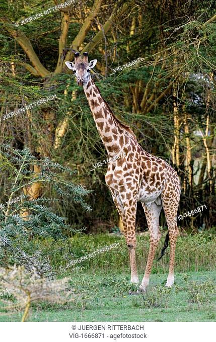 Masai giraffes, Giraffa camelopardalis, Giraffa camelopardalis tippelskirchi, NAIVASHA, KENYA, Africa - NAIVASHA, KENYA, 28/09/2008