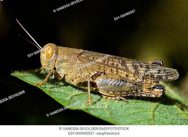 Cricket on leaf  V5FRA0457