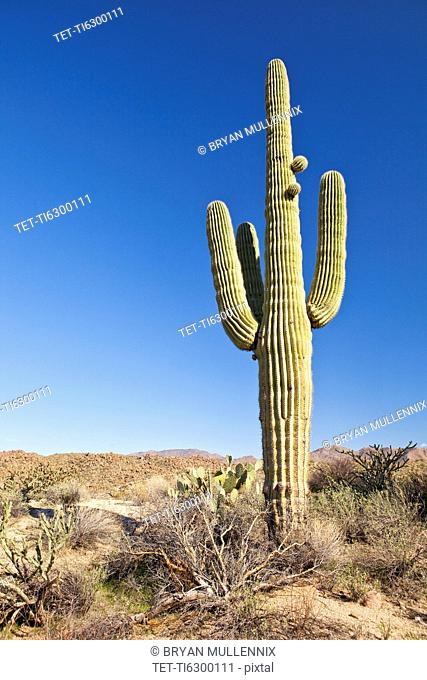 USA, Arizona, Phoenix, saguaro cactus on desert
