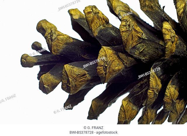 Scotch pine, Scots pine (Pinus sylvestris), cone of pine