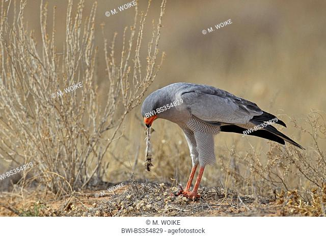 Somali chanting-goshawk, Eastern pale chanting goshawk (Melierax poliopterus), adult goshawk stands on the ground and eats a small mammal, South Africa