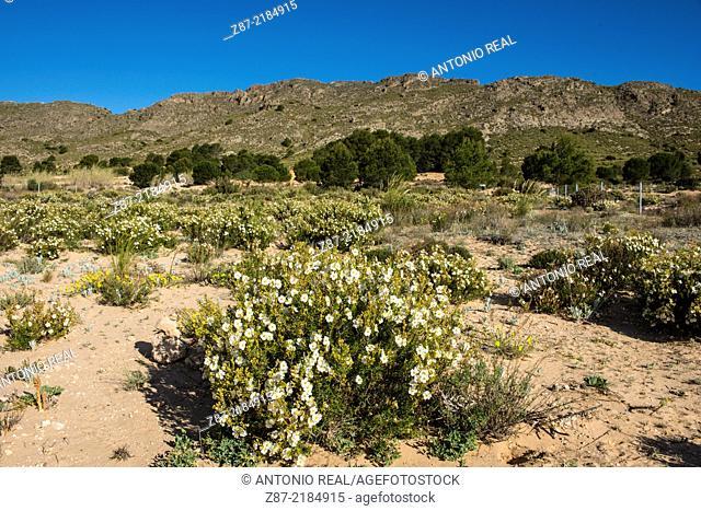 Rock Rose (Helianthemum cinereum), Microreserve Arenales de Caudete, Caudete, Albacete province, Castilla-La Mancha, Spain