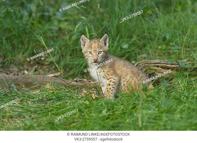 European Lynx, Lynx Lynx, Kitten, Germany