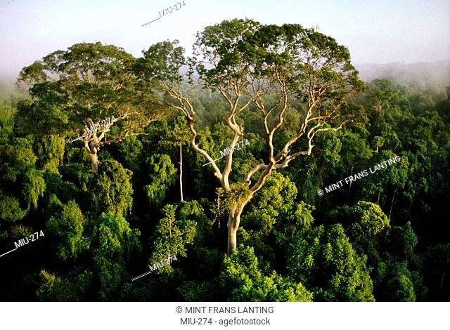 Tall trees rising above rainforest canopy, aerial view, Sabah, Borneo