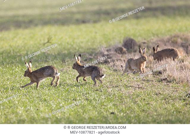 Brown Hares - males chasing aroung looking for the female (Lepus capensis). Oxon - UK - March