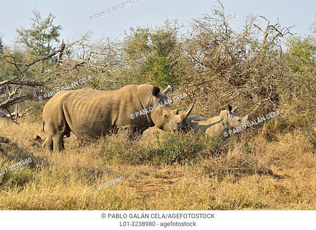 Southern white rhinoceros (Ceratotherium simum simum). Hlane National Park, Eswatini (Swaziland)