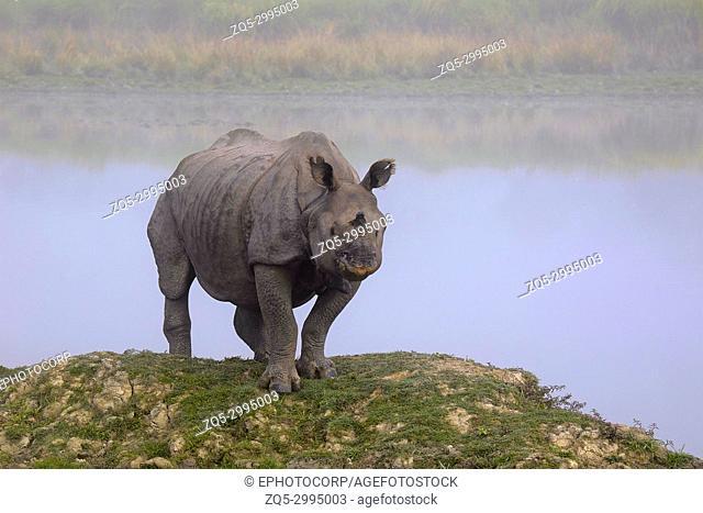 Indian One Horned Rhinoceros, Rhinoceros unicornis, Kaziranga Tiger Reserve, Assam, India