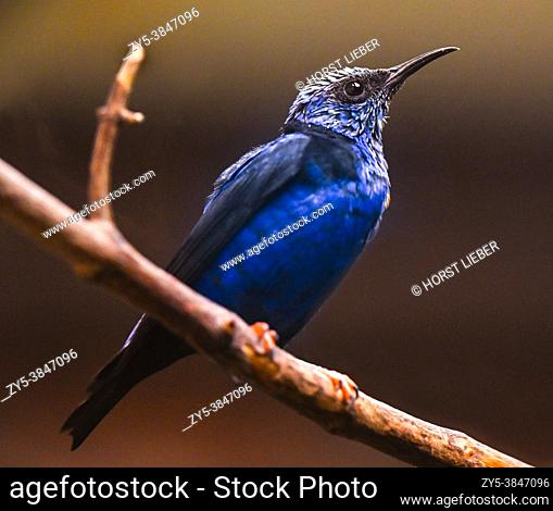 Red-legged Honeycreeper male (Cyanerpes cyaneus) perched on a branch