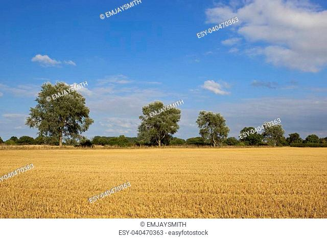 a row of white poplars beside a golden stubble field at harvest time in yorkshire england under a blue sky in late summer