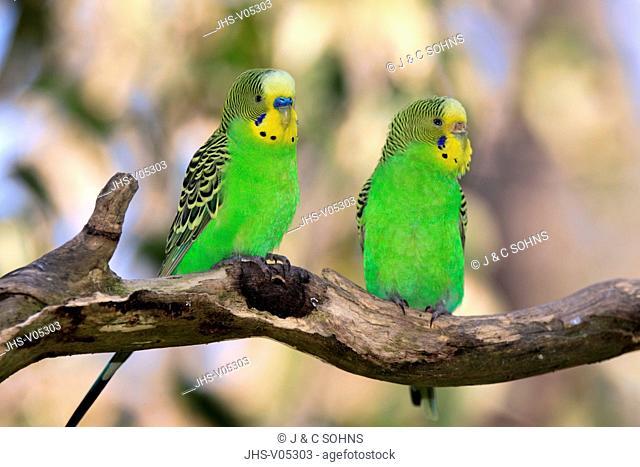 Budgerigar, Melopsittacus undulatus, Alice Springs, Northern Territory, Australia, couple on tree