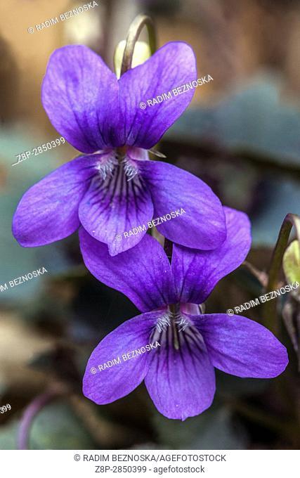 Viola labradorica, commonly known as Alpine dog violet, Alpine violet, American dog violet, dog violet, and Labrador violet