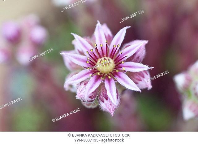 Houseleek plant, Sempervivum heuffelii
