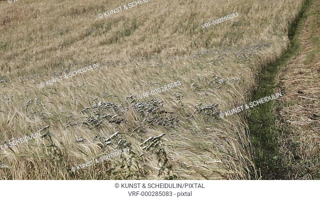 Organic barley field (Hordeum vulgare) in Noraström, Västernorrlands Län, Sweden