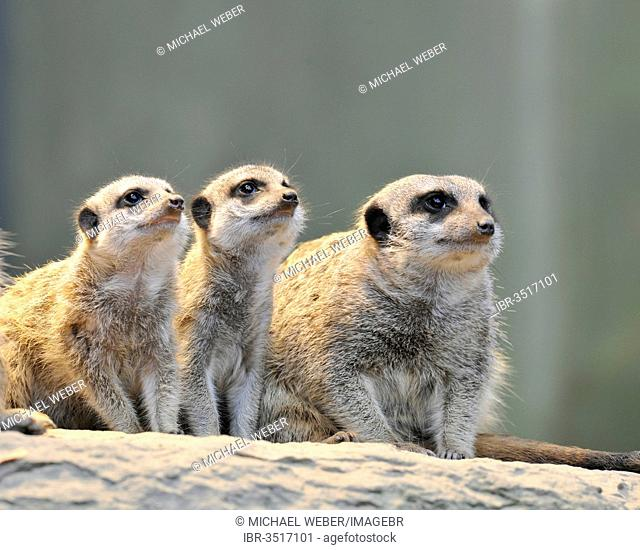 Meerkat or Suricate (Suricata suricatta), pups and adult, occurrence in Africa, captive