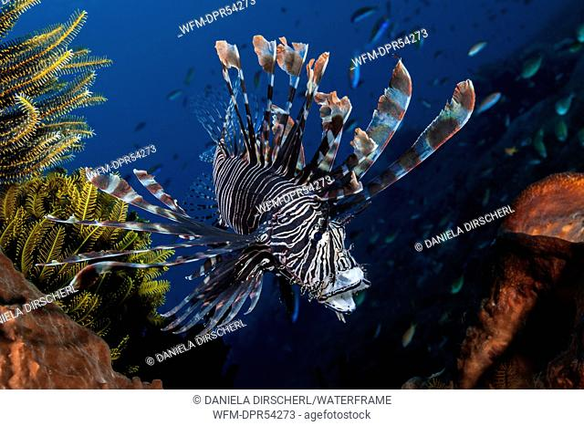 Lionfish, Pterois volitans, Komodo National Park, Indonesia