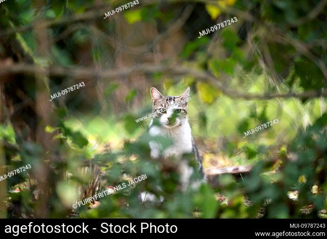 white tabby domestic shorthair cat standing behind chain-link fence covered with plants looking at camera outdoors in back yard