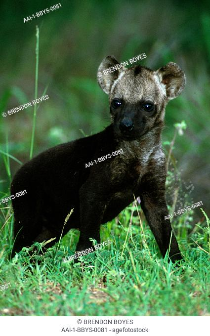 Spotted Hyena pup, Kruger National Park, Mpumalanga, South Africa