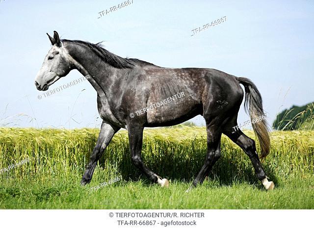 trotting German Sport Horse