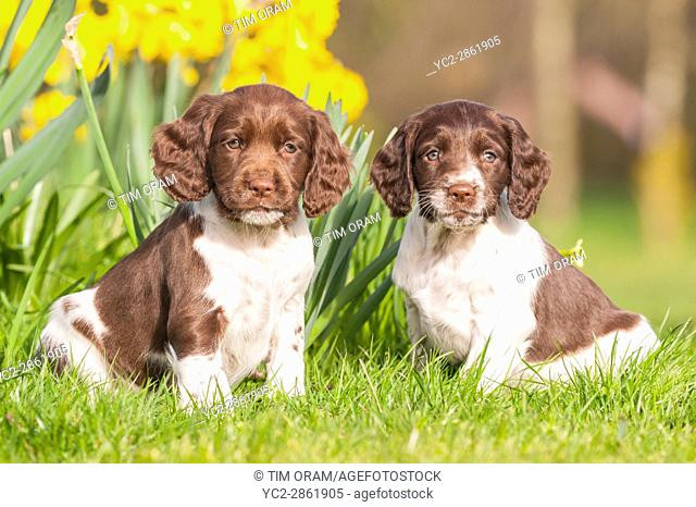 Two 6 week old English Springer Spaniel puppys (sisters) in the Uk