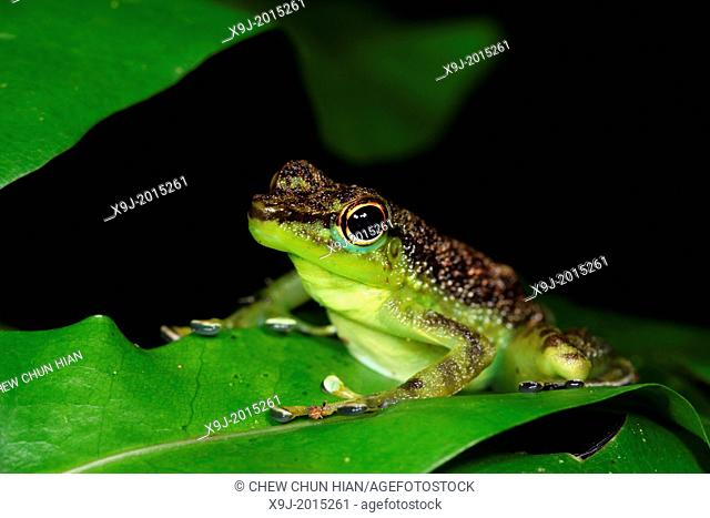 Black-spotted rock frog Staurois natator, gading national park, sarawak, malaysia, borneo